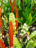 Czerwony i Pomarańczowy Bromeliad Kwitnie kwitnienie Obraz Stock