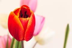 Czerwony i pomarańczowy plastikowy imitacja tulipan kwitnie z copyspace Fotografia Royalty Free
