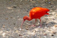 czerwony ibis Fotografia Stock