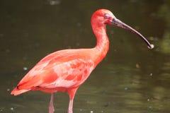 czerwony ibis Zdjęcia Stock