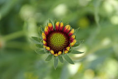 Czerwony Indiański Powszechny kwiat Fotografia Stock