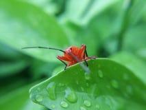 Czerwony insekt obraz stock