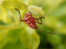 Czerwony insekt obrazy royalty free