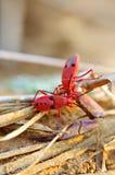 Czerwony insekt Zdjęcia Stock