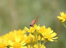 Czerwony insekt na żółtym kwiacie Zdjęcia Royalty Free