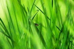 Czerwony insekt na młodej zielonej trawie obraz royalty free