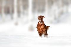 Czerwony irlandzkiego legartu pies w śnieżnym polu zdjęcie royalty free