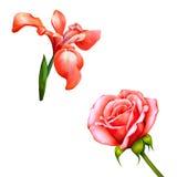 Czerwony irysowy kwiat, czerwieni róży okwitnięcie z pączkiem ilustracja wektor