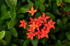 Czerwony ixora coccinea kwiat obrazy stock
