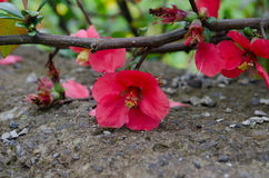 Czerwony jabłczany pigwy drzewa okwitnięcie Zdjęcia Royalty Free