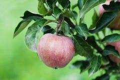 Czerwony jabłko na gałąź, naturalny rolnika jedzenia pojęcie zielony tło, miękka ostrość głębokość pola płytki Obraz Royalty Free