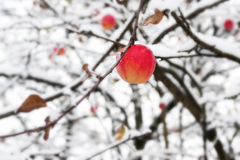 Czerwony jabłko na gałąź w śniegu obrazy stock