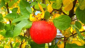 Czerwony jabłko na jabłoni Zdjęcia Stock