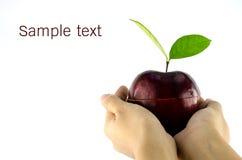 Czerwony jabłko w kobiet rękach Fotografia Royalty Free
