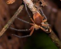 czerwony jadowity pająk obraz stock