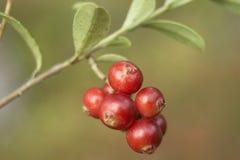 czerwony jagodowa Zdjęcia Royalty Free