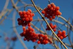 Czerwony jagodowy viburnum Obraz Royalty Free
