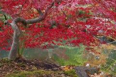 Czerwony Japoński klon Zdjęcia Royalty Free