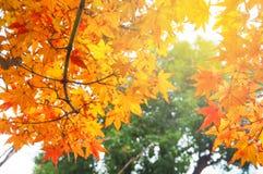 Czerwony Japońskiego klonu urlop w jesieni Obrazy Royalty Free