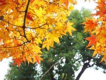 Czerwony Japońskiego klonu urlop w jesieni Obrazy Stock