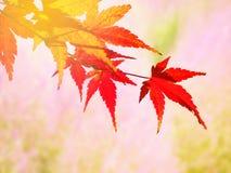 Czerwony Japońskiego klonu urlop w jesieni Zdjęcia Stock