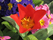 Czerwony Jeździeckiego kapiszonu Tulipa Obraz Stock