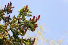 Czerwony jedlinowy rożek Zdjęcie Stock