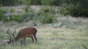 Czerwony jeleń samiec tło fotografia royalty free