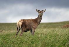 czerwony jelenia zdjęcia royalty free