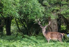 Czerwony jelenia rogacz na krawędzi lasu Zdjęcia Royalty Free