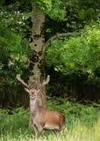 Czerwony jelenia rogacz w lesie Fotografia Royalty Free