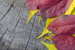 Czerwony jesień liść Fotografia Royalty Free