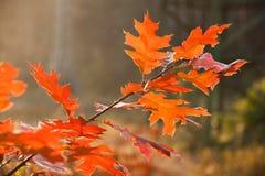 Czerwony jesień liści zbliżenie Zdjęcie Royalty Free