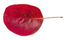 Czerwony jesień urlop Zdjęcie Royalty Free