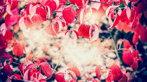 Czerwony jesieni ulistnienie przy światła słonecznego tłem, rama, spada plenerowa natura Obraz Royalty Free