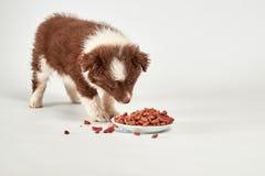 Czerwony kędzierzawy szczeniak je smakowitego psiego jedzenie na bielu zdjęcie stock