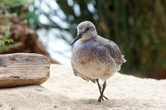 Czerwony kępki shorebird z zdradzonym skrzydłowym odprowadzeniem w piasku obraz royalty free