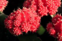 Czerwony kaktus Obraz Stock