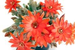 Czerwony kaktusowy kwiat nad bielem Obraz Royalty Free