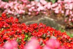 Czerwony Kalanchoe blossfeldiana jest bokeh kwiatów tłem (Selectiv Zdjęcia Stock