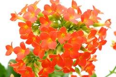 Czerwony Kalanchoe kwiat  Obrazy Royalty Free