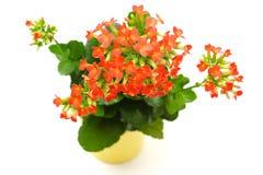 Czerwony Kalanchoe kwiat  Obrazy Stock