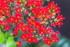 Czerwony Kalanchoe kwiat Fotografia Stock