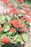 Czerwony Kalanchoe kwiat Zdjęcie Stock