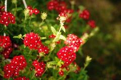 Czerwony Kalanchoe kwiat Obraz Stock