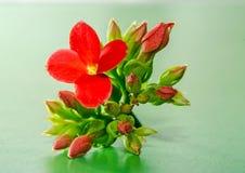 Czerwony Kalanchoe kwiat, rodzinny Crassulaceae, zakończenie up, zielony tło Zdjęcie Stock
