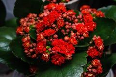 Czerwony kalanchoe kwiatu zakończenie up Zdjęcia Stock