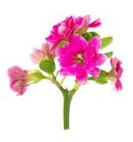 Czerwony Kalanchoe kwiatu zbliżenie odizolowywający na bielu Obraz Royalty Free