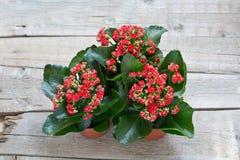 Czerwony Kalanchoe kwitnie na drewnianym tle Odgórny viev Zdjęcia Royalty Free