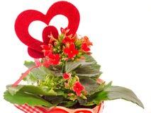 Czerwony Kalanchoe kwitnie z czerwonym kierowym kształtem, biały tło, zakończenie up Zdjęcia Stock